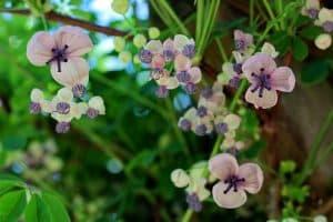 akebia plante grimpante